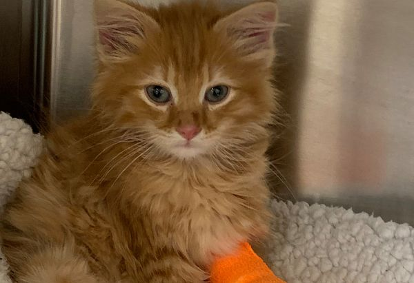 Gojo is a young orange cat wearing a bright orange wrap on one of his front legs.